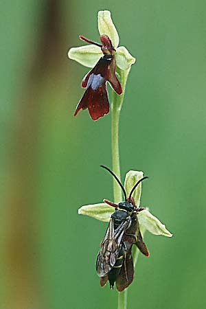 beeorchid