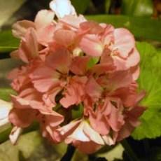 pinkgeranium