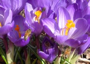 crocus-bees