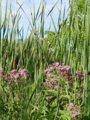 Spotted Joe Pye Weed (Eutrochium maculatum) & cattails